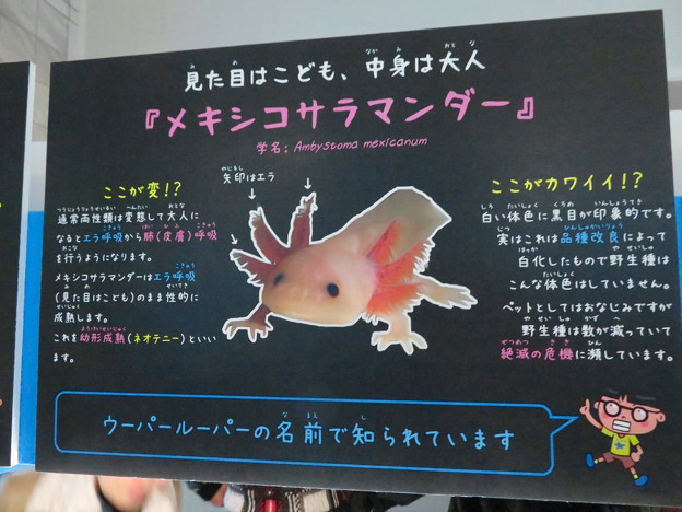 名古屋港水族館「へんカワ展」No - 31:絶滅が危惧されてる「ウーパールーパー」こと「メキシコサラマンダー」の説明