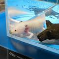 名古屋港水族館「へんカワ展」No - 32:絶滅が危惧されてる「ウーパールーパー」こと「メキシコサラマンダー」