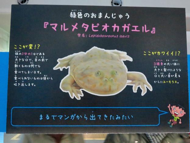 名古屋港水族館「へんカワ展」No - 34:ユーモラスな顔の「マルメタピオカガエル」の説明