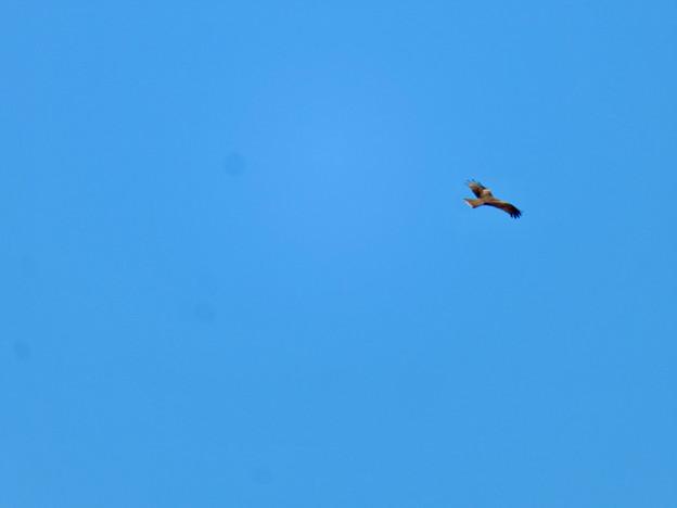 冬の空を舞っていた猛禽類 - 1