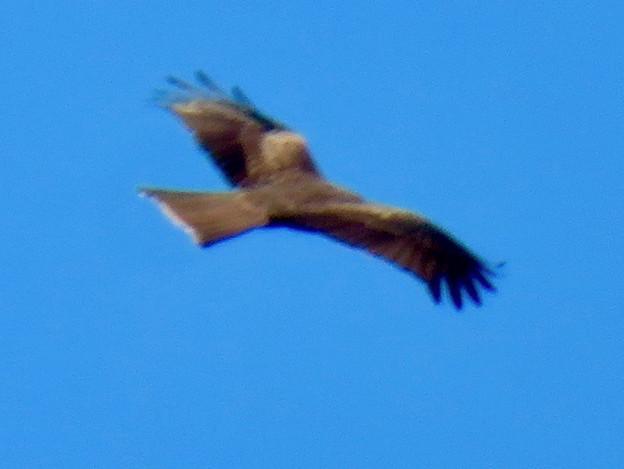 冬の空を舞っていた猛禽類 - 2