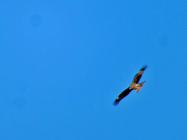 冬の空を舞っていた猛禽類 - 3