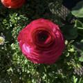 カインズで売ってた綺麗なバラ