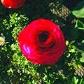 カインズ小牧店で売ってたバラ;エフェクト - 1