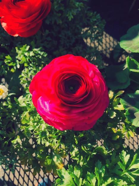 Photos: カインズ小牧店で売ってたバラ;エフェクト - 2