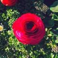 カインズ小牧店で売ってたバラ;エフェクト - 2
