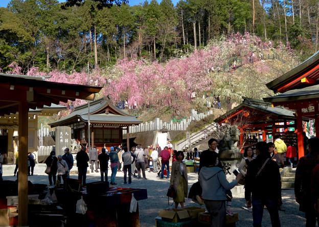 梅が満開だった大縣神社 2019 - 5