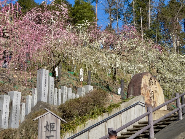 梅が満開だった大縣神社 2019 - 10