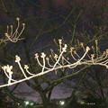 落合公園の桜のツボミ(2019年3月20日) - 1