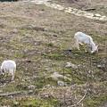 春日井市出川町:放牧されてたヤギ - 3