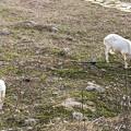春日井市出川町:放牧されてたヤギ - 4