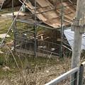Photos: 春日井市出川町:放牧されてたヤギ - 6