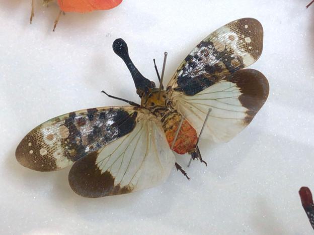 ツインアーチ138:アートする昆虫展 No - 13(美しい姿をしたテングビワハゴロモ)