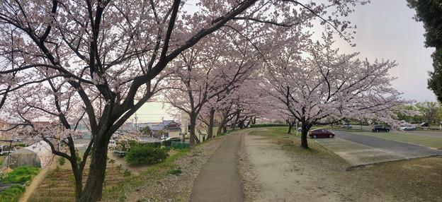 満開だった落合公園の桜(2019年4月7日) - 18:パノラマ