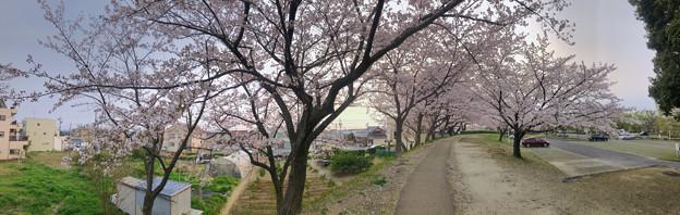 満開だった落合公園の桜(2019年4月7日) - 19:パノラマ