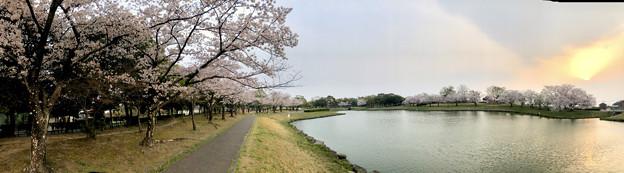 満開だった落合公園の桜(2019年4月7日) - 52:パノラマ