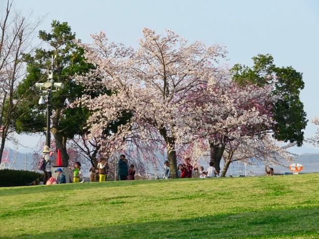 138タワーパークの桜 - 3