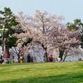 Photos: 138タワーパークの桜 - 3