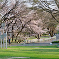 Photos: 木曽川沿いの桜 - 1:たぶん大野極楽寺公園の桜
