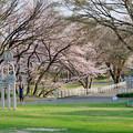 木曽川沿いの桜 - 1:たぶん大野極楽寺公園の桜