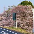 木曽川沿いの桜 - 2