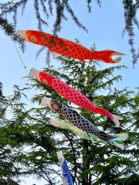 鶴舞公園の鯉のぼり - 5