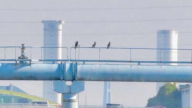 クルーズ名古屋(2019年5月)No - 55:水道橋の上に止まるカワウ
