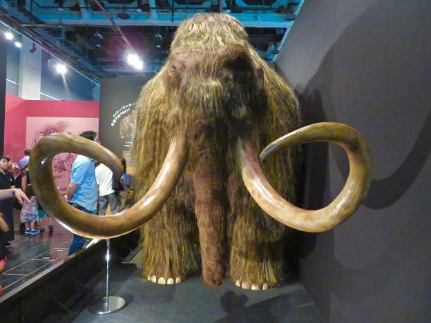 名古屋市科学館「絶滅動物研究所」展 No - 6:ケナガマンモスのリアル模型