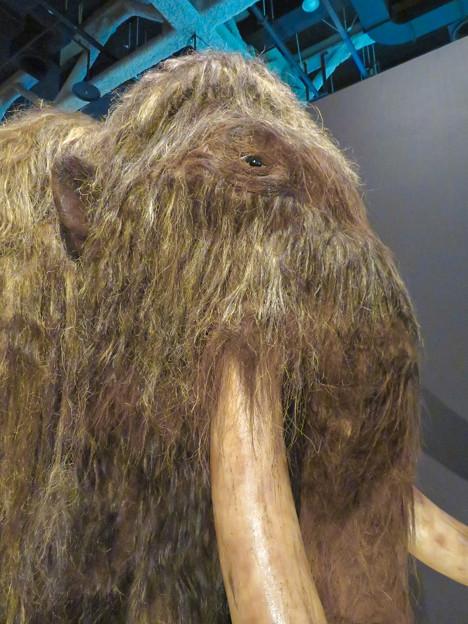 名古屋市科学館「絶滅動物研究所」展 No - 7:ケナガマンモスのリアル模型(可愛らしい目)