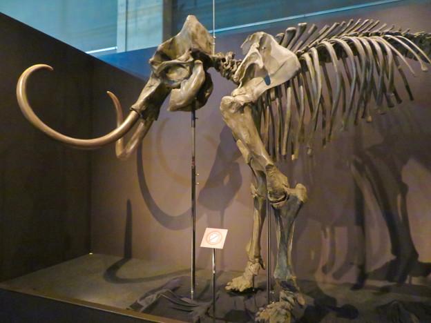 名古屋市科学館「絶滅動物研究所」展 No - 9:マンモスの骨格標本