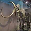 Photos: 名古屋市科学館「絶滅動物研究所」展 No - 12:マンモスの骨格標本