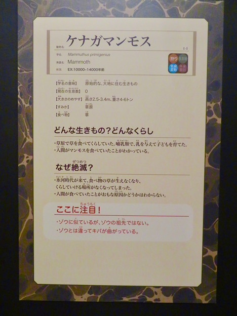 名古屋市科学館「絶滅動物研究所」展 No - 14:ケナガマンモスの説明