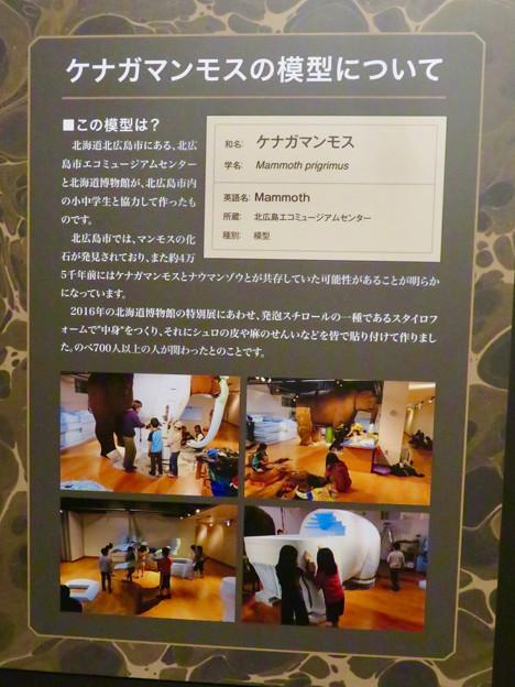 名古屋市科学館「絶滅動物研究所」展 No - 15:ケナガマンモス模型の説明