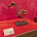 Photos: 名古屋市科学館「絶滅動物研究所」展 No - 17:ドードーの骨格標本