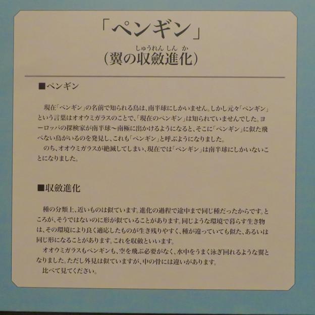名古屋市科学館「絶滅動物研究所」展 No - 27:ペンギンの名前の由来と翼の収斂進化について