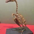 Photos: 名古屋市科学館「絶滅動物研究所」展 No - 33:オオウミガラスの骨格標本