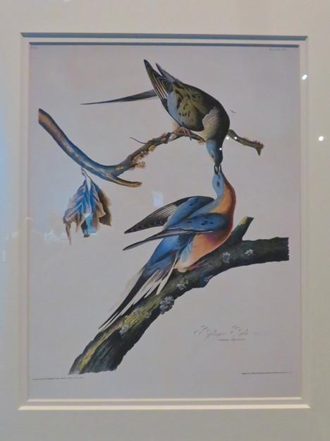 名古屋市科学館「絶滅動物研究所」展 No - 38:リョコウバトが描かれた絵