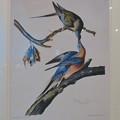 Photos: 名古屋市科学館「絶滅動物研究所」展 No - 38:リョコウバトが描かれた絵