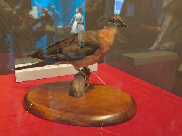 名古屋市科学館「絶滅動物研究所」展 No - 42:リョコウバトの剥製