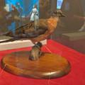 Photos: 名古屋市科学館「絶滅動物研究所」展 No - 42:リョコウバトの剥製