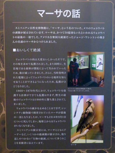 名古屋市科学館「絶滅動物研究所」展 No - 43:最後のリョコウバト「マーサ」
