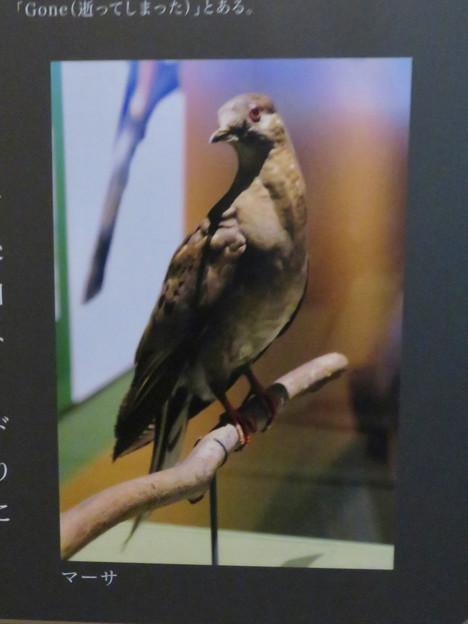 名古屋市科学館「絶滅動物研究所」展 No - 44:最後のリョコウバト「マーサ」