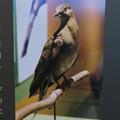 Photos: 名古屋市科学館「絶滅動物研究所」展 No - 44:最後のリョコウバト「マーサ」