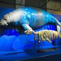 Photos: 名古屋市科学館「絶滅動物研究所」展 No - 45:ステラーカイギュウの模型と骨格標本