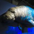 Photos: 名古屋市科学館「絶滅動物研究所」展 No - 47:ステラーカイギュウの模型