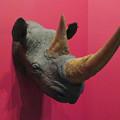 Photos: 名古屋市科学館「絶滅動物研究所」展 No - 54:クロサイの頭部の剥製
