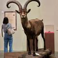 Photos: 名古屋市科学館「絶滅動物研究所」展 No - 60:ピレネーアイベックスの剥製