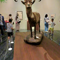 Photos: 名古屋市科学館「絶滅動物研究所」展 No - 61:ピレネーアイベックスの剥製