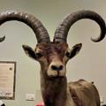 Photos: 名古屋市科学館「絶滅動物研究所」展 No - 62:ピレネーアイベックスの剥製(立派な角)