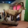 Photos: 名古屋市科学館「絶滅動物研究所」展 No - 63:ピレネーアイベックスの剥製